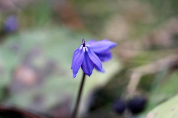 Purple Flower, Open