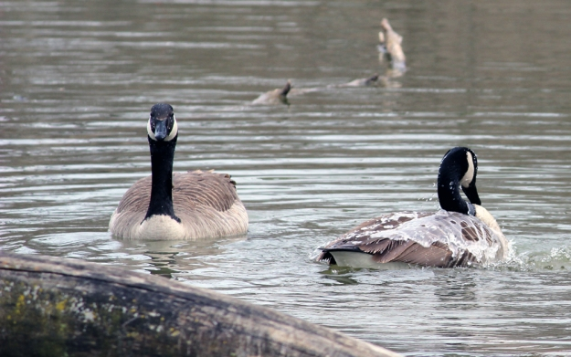 Three Creeks - Heron Lake: Geese Bathing