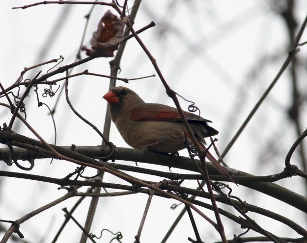 Three Creeks - Lady Cardinal