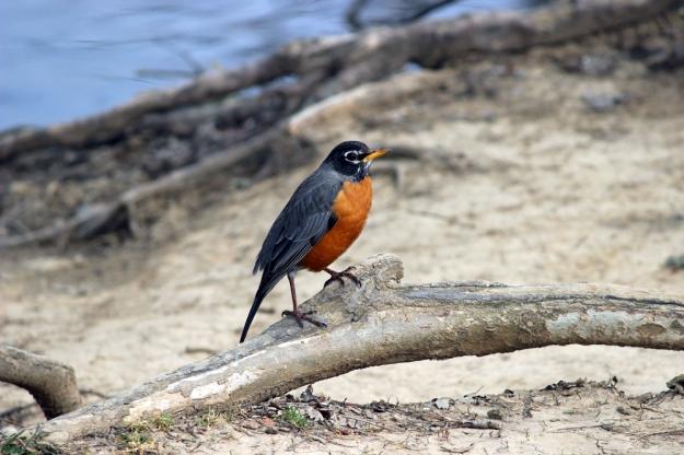 Three Creeks - Robin1