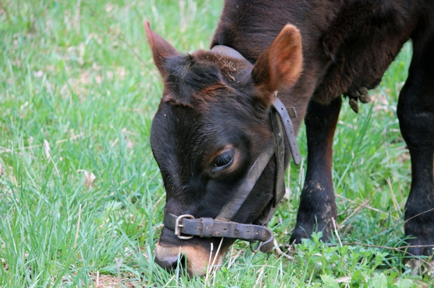 Calf eating grass
