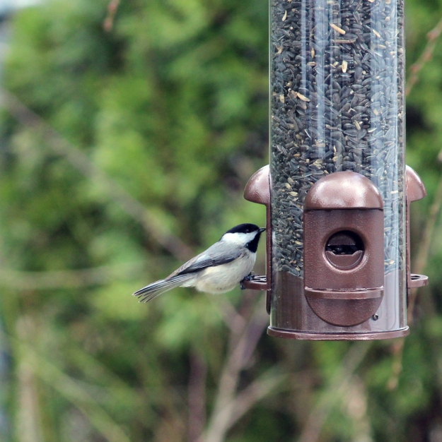 At the Feeder: chickadee1