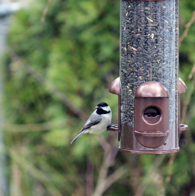 At the Feeder: chickadee2